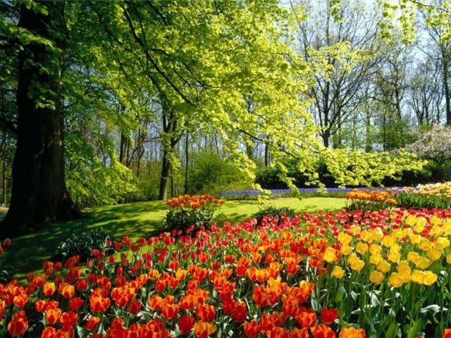 imagenes-de-flores-tulipanes-5