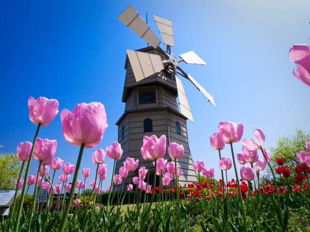tulipanes-foto